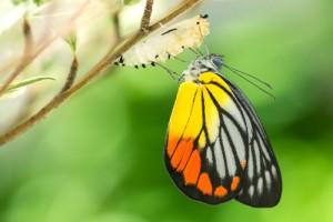 shutterstock_234030868 butterfly